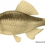 天然記念物魚「ミヤコタナゴ」を違法飼育していた男が書類送検!