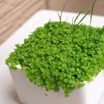 水草を水上葉化!ニューラージパールグラスの水上栽培。