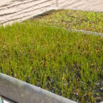 ベランダの水草(水上育成)が春になって復活しました!