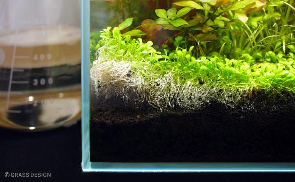 グロッソスティグマの絨毯が剥がれたので植え直し!