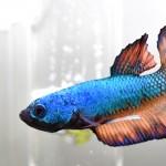 熱帯魚ベタ飼育☆ベタ・プラガットの飼い方