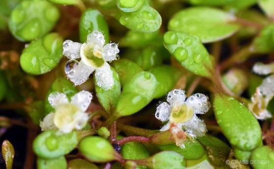 グロッソスティグマの花