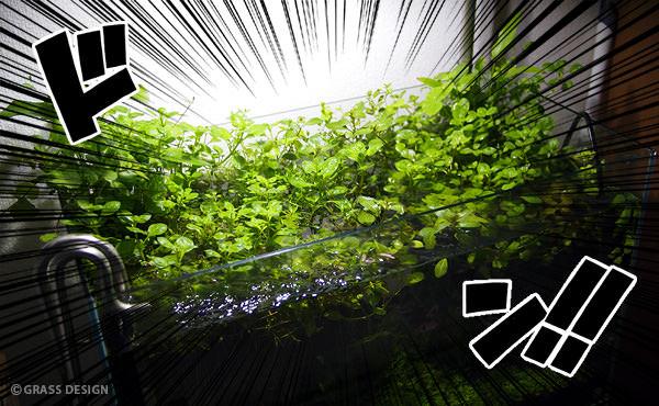 ニューラージパールグラスを救え!モサモサ蔓延る佗び草をトリミング!