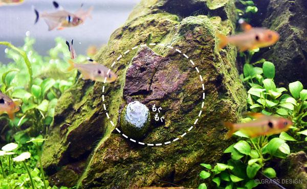 フネアマ貝が苔を食べた跡