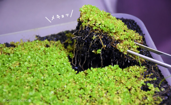土付きの水草の植え方☆水草水槽レイアウトで使う方法。