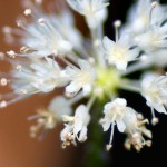 小さくて可憐…佗び草のアマゾンチドメグサが花開きました。