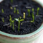 ミニ盆栽・金豆の種を蒔いて3週間!やっと発芽しました!