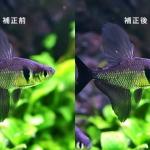 アクアリウム・熱帯魚の画像をシャープに補正する方法。