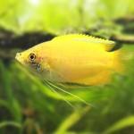 ゴールデンハニードワーフグラミー★小型でかわいい熱帯魚