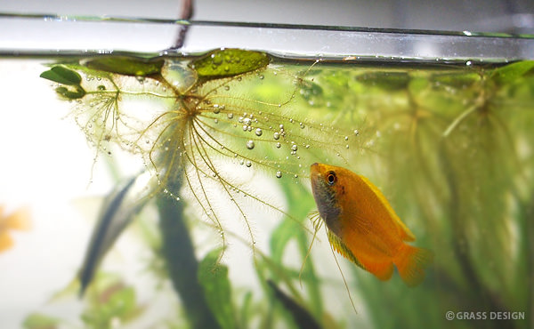なぜグラミー水槽に浮き草を入れるのか?メリット・デメリットは?