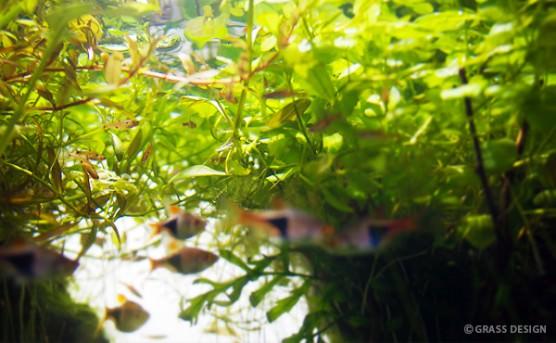 水中から佗び草を見上げる