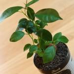 超セクシーな植物を100円ショップで見つけて一目惚れした件。