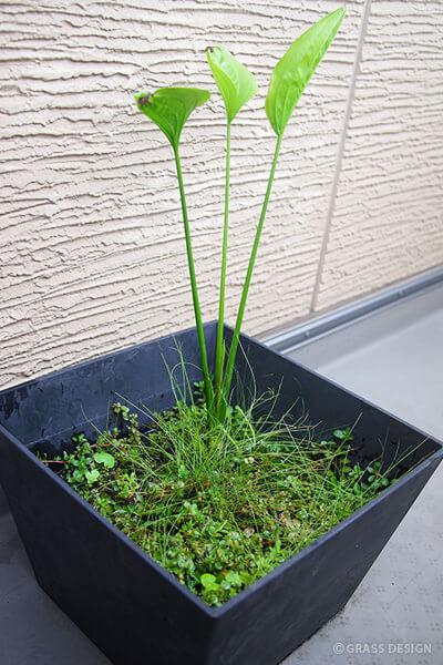 大きすぎる!佗び草エキノドルスをベランダでの水上葉育成に変更。