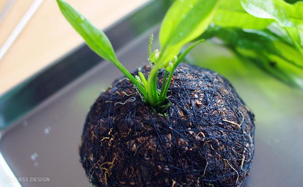 余っていた佗び草のベースを活用。エキノドルスを植え替えました!