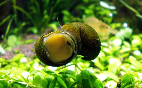 石巻貝にくっつく石巻貝