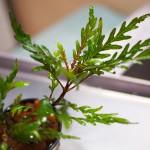これは珍しい!活着する有茎草ハイグロフィラ・ピンナティフィダ