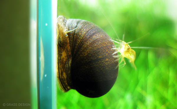 石巻貝とミナミヌマエビ