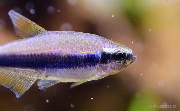 インパイクティスケリーは繁殖可能な藤色の熱帯魚