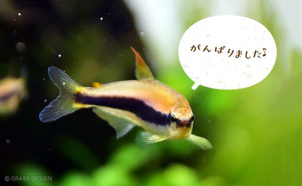 インパイクティスケリーの成魚メス