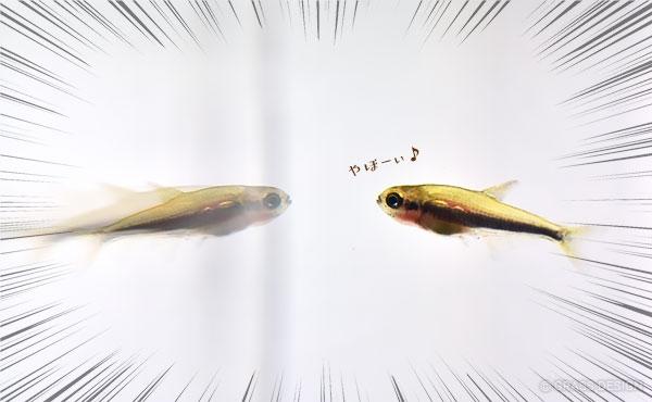 インパイクティスケリーの稚魚