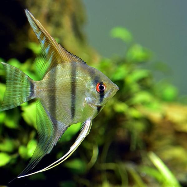 熱帯魚を飼育したくなってエンゼルフィッシュを飼ってみた。