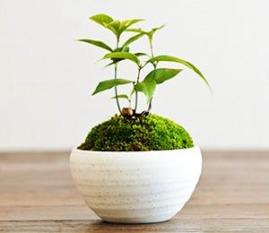 まだ間に合う!2014年の敬老の日は盆栽を贈ろう。
