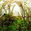 ハイグロフィラ・ピンナティフィダをトリミングせずに放置したら竹林みたいになった件について。