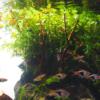 シダ系水草の人気種、ボルビティス・ヒュデロッティと枝流木を追加してみた!