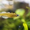 蝶のような熱帯魚。バタフライレインボーを飼育してみる!