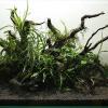 60cm水槽をレイアウト!佗び草と流木で構成しました