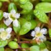 水上育成中の水草、グロッソスティグマの花が咲きました!